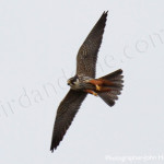 George and Dragon, Hobby: birdwatching, birdwatchers, birding, birders