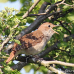 Nightingale in full song for birders, bird watching, birding, birders