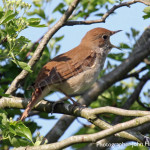 Nightingale in full song for birders, birding, bird watching, bird watchers