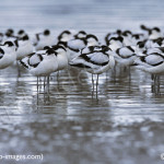 avocets-rainhammarshescafe-purfleet for birdwatching, birdwatchers, birding, birders