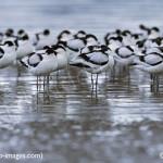 avocets-rainhammarshescafe-purfleet for birdwatching, birdwatchers, birding, birders
