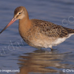 black tailed godwit, birdwatching, birdwatchers, birding, birders
