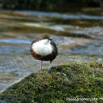 Dipper for birdwatching, birdwatchers, birding, birders