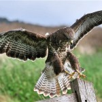 Buzzard great place for birdwatching, birdwatchers, birding, birders at watermeet