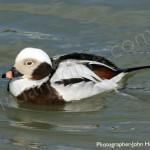 Long Tailed Duck for birdwatching, birdwatchers, birding, birders