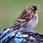 Twite birdwatching, birdwatchers, birding, birders
