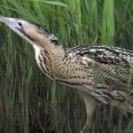 Bittern spotted by birdwatchers, birdwatching, birding, birders