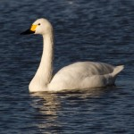 swan looking for birdwatchers, birdwatching, birding, birders