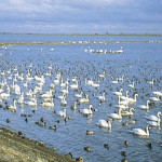 swans ideal for birdwatching, birdwatchers, birding, birders
