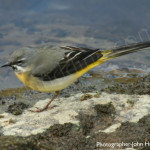 9-grey-wagtail-boathousebistro
