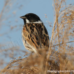 bird watchers, birding, biders, reed bunting