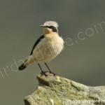 wheatear-mizenhead watching bird watchers, birding, birders