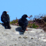 chough chatting, birdwatching, birdwatchers, birding, birders