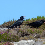 Chough shouting at birdwatching, birdwatchers, birding, birders