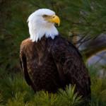 61-bald eagle-blackbass-lumberville