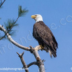 63-bald eagle-blackbass-lumberville