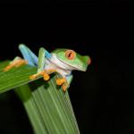 lapaz-costarica-frog1