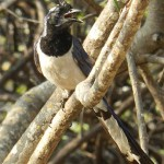 black-throated magpie-jay maralcielo, birding, birders, bird watching