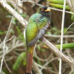 trogon in the trees for bird watching, birders, birding