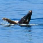 humpback whale maralcielo, birding, birders, bird watching