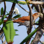 squirrel cuckoo, bird watching, birders, birding