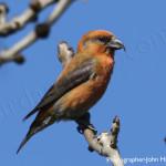 Crossbill, birdwatching, birders, birding