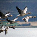 Pink Footed Geese in flight , birders, birding, bird watching