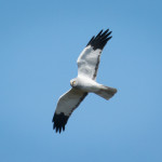 Hen Harrier in Flight, birdwatching, birdwatchers, birding, birders