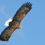 white tailed eagle spotted by birders birdwatching, birdwatchers, birding