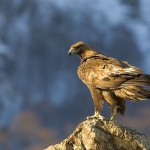 Magnificent Golden Eagle looking at birders, birdwatching, birdwatchers, birding