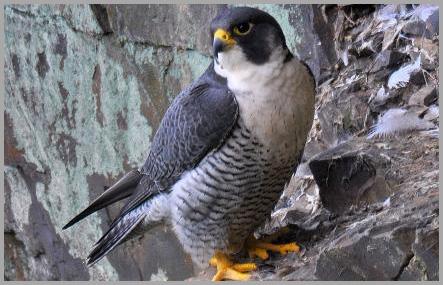Peregrine at the Cloisters