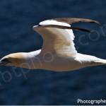 Gannet in flight for birdwatching, birdwatchers, birding, birders