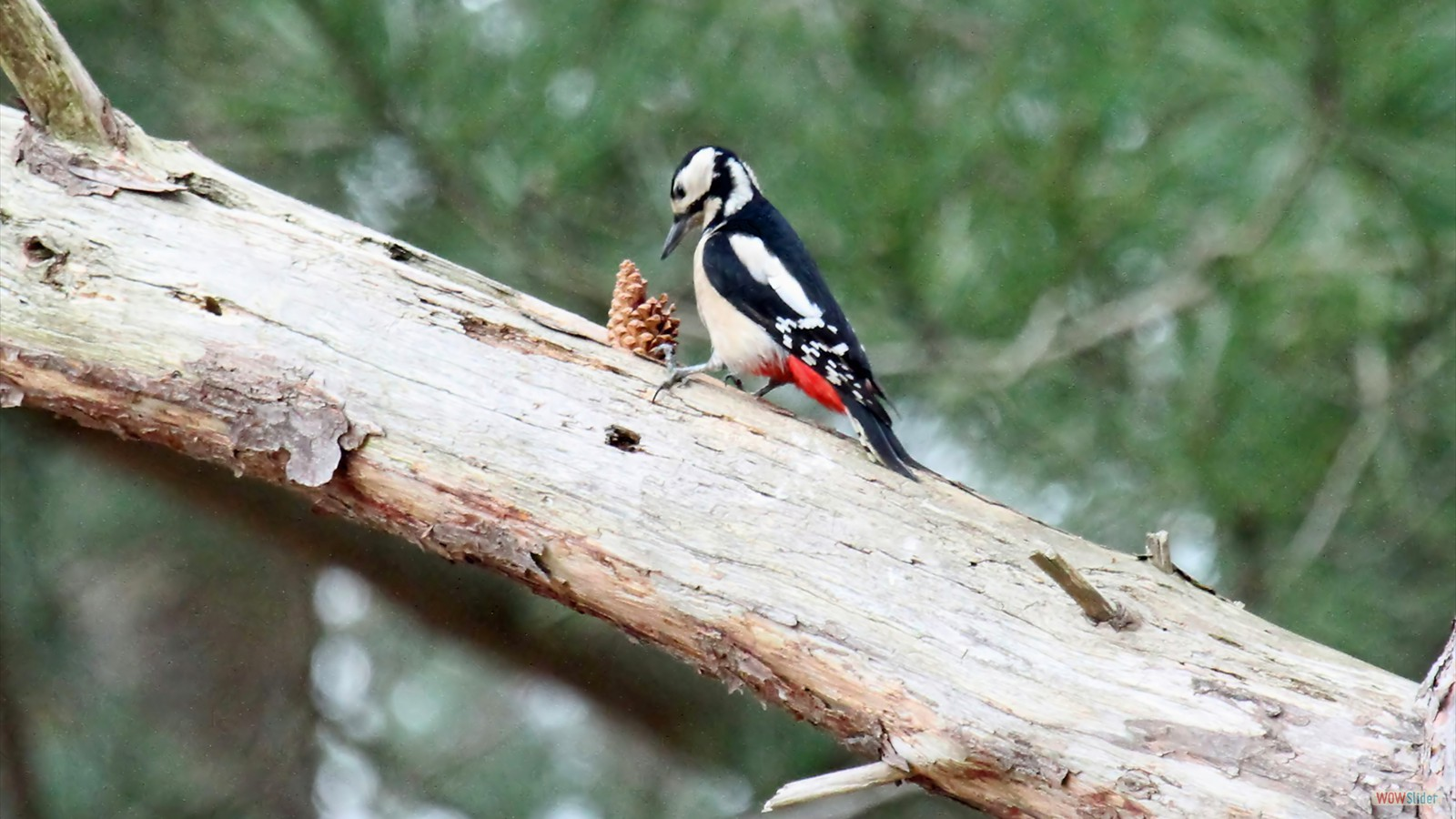 Great Spotted Woodpecker by John Hamilton