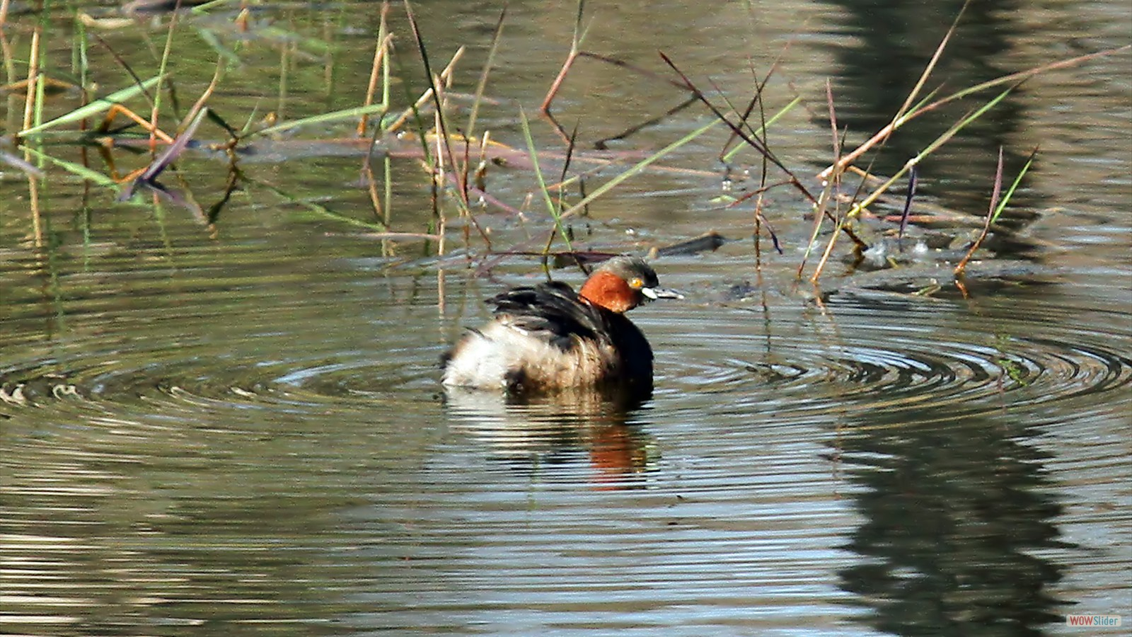 Little Grebe by John Hamilton