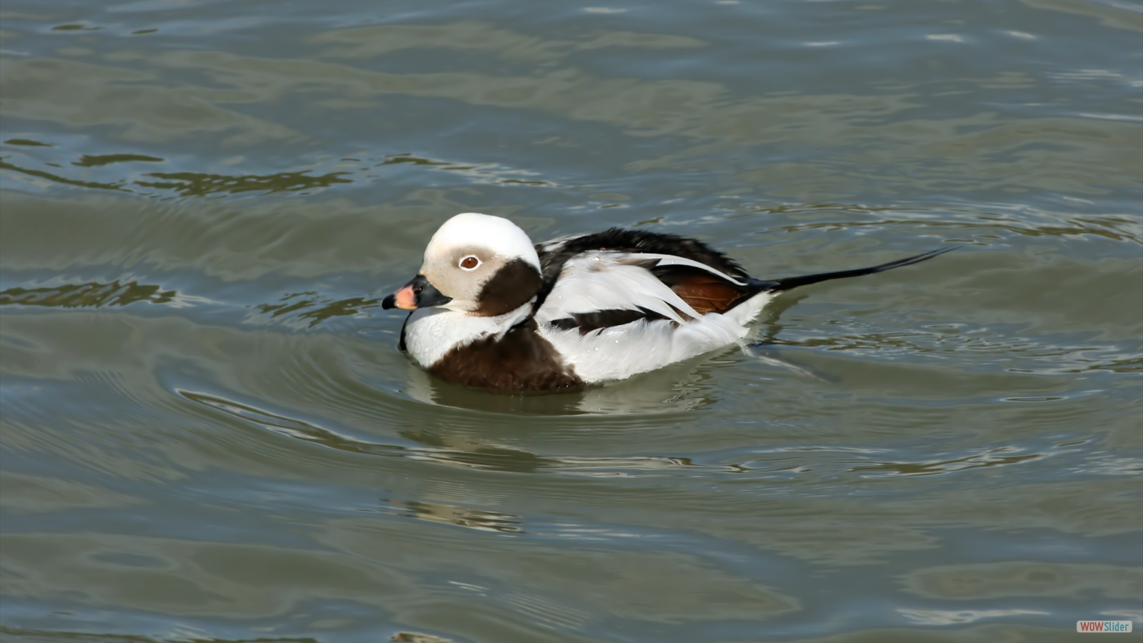 Long-tailed Duck by John Hamilton
