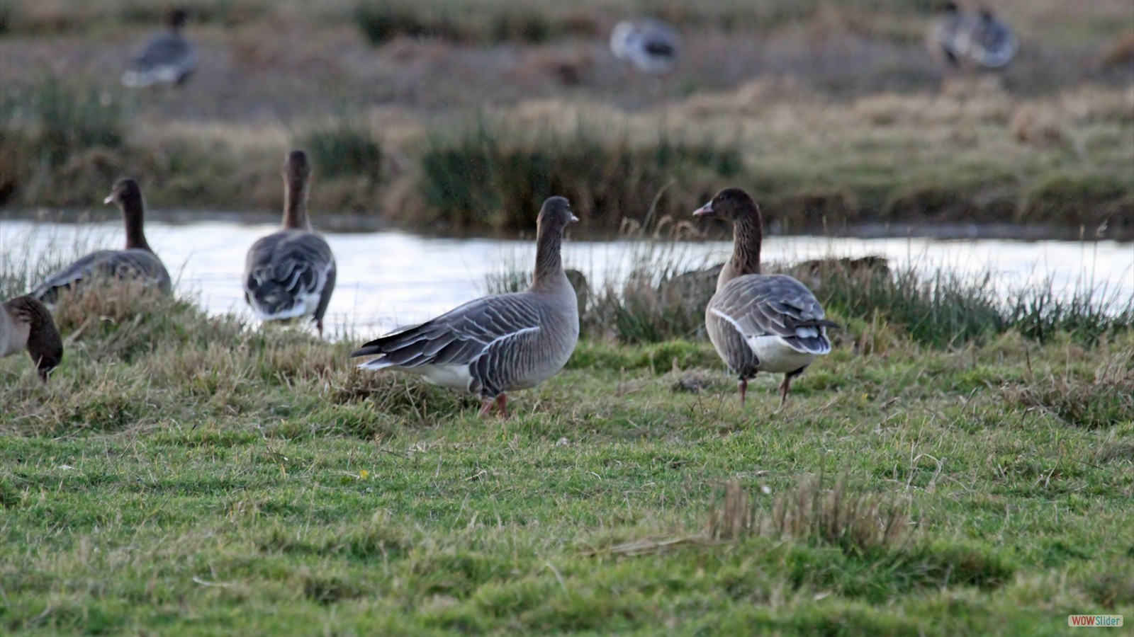 Pink-footed Geese by John Hamilton