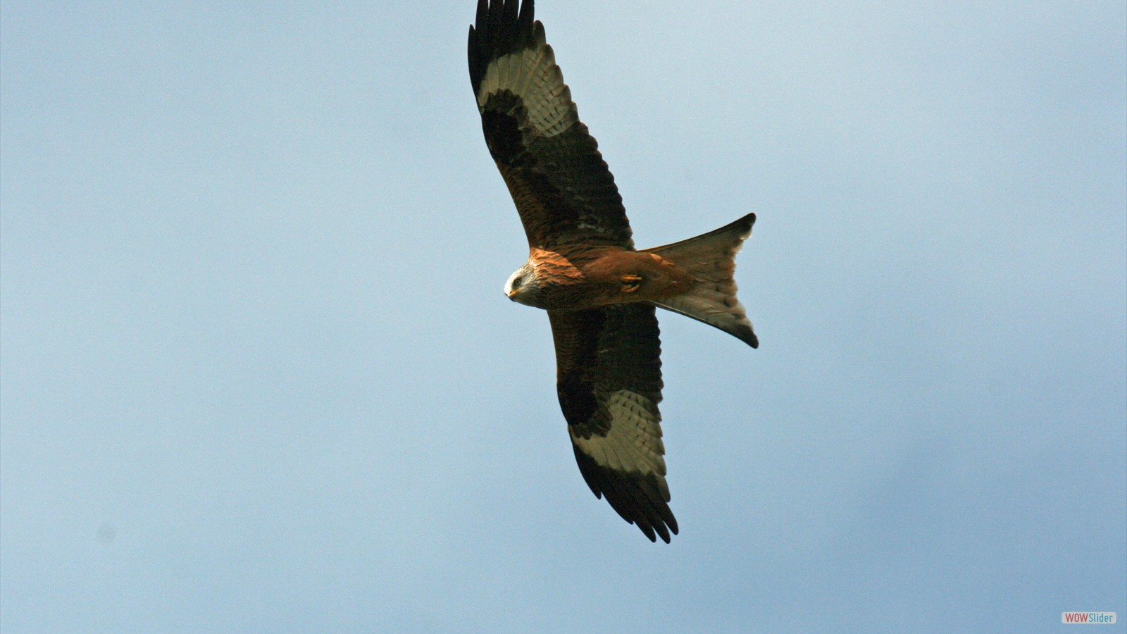 Red Kite by John Hamilton