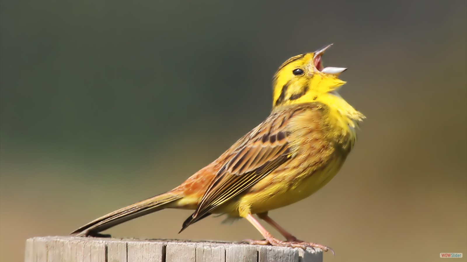 Yellowhammer by John Hamilton