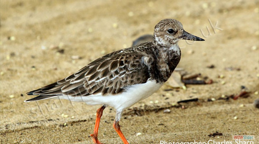 Ruddy Turnstone by Charles Sharp