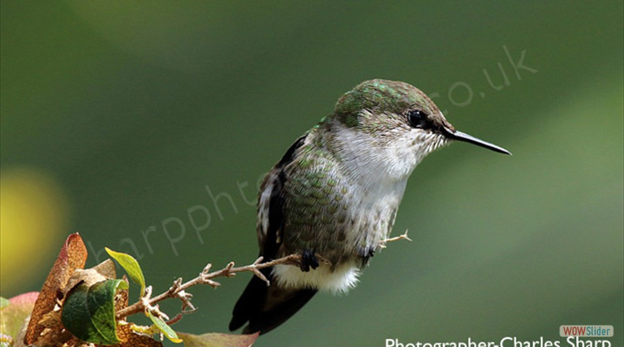 Vervain Hummingbird by Charles Sharp