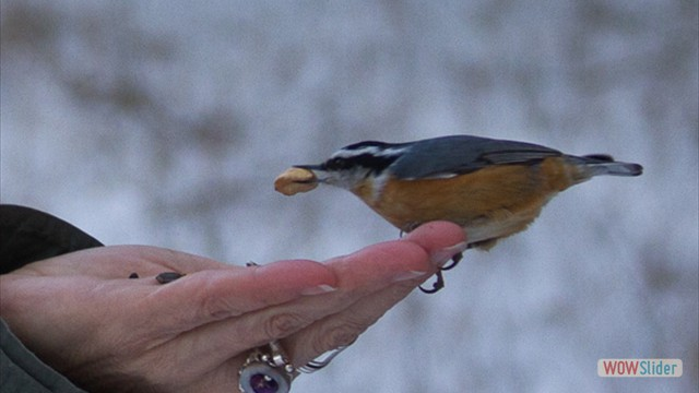 American Nuthatch by Cat Phoenix